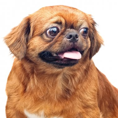 Small pekingese dog isolated on white