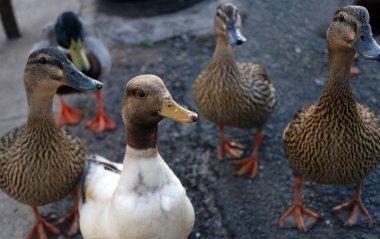 Inquisitive ducks