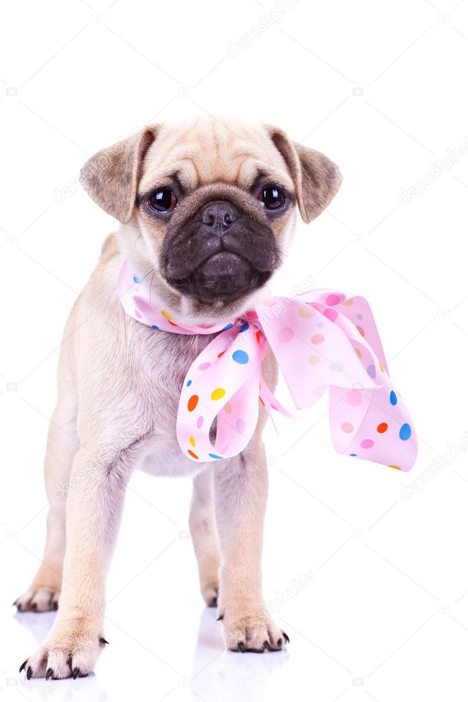 cute mops puppy dog wearing a pink ribbon stock photo feedough 10185010. Black Bedroom Furniture Sets. Home Design Ideas