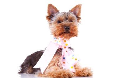 Cute yorkshite puppy dog