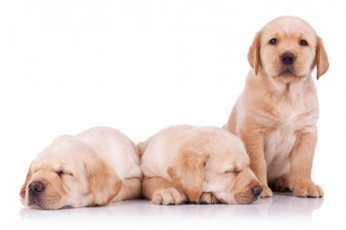 Three adorable little labrador retriever puppies