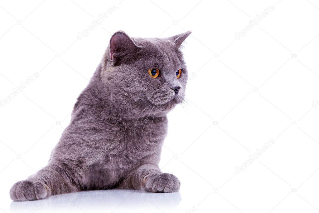 Ciekawy Kot Brytyjski Zdjęcie Stockowe Feedough 8403225