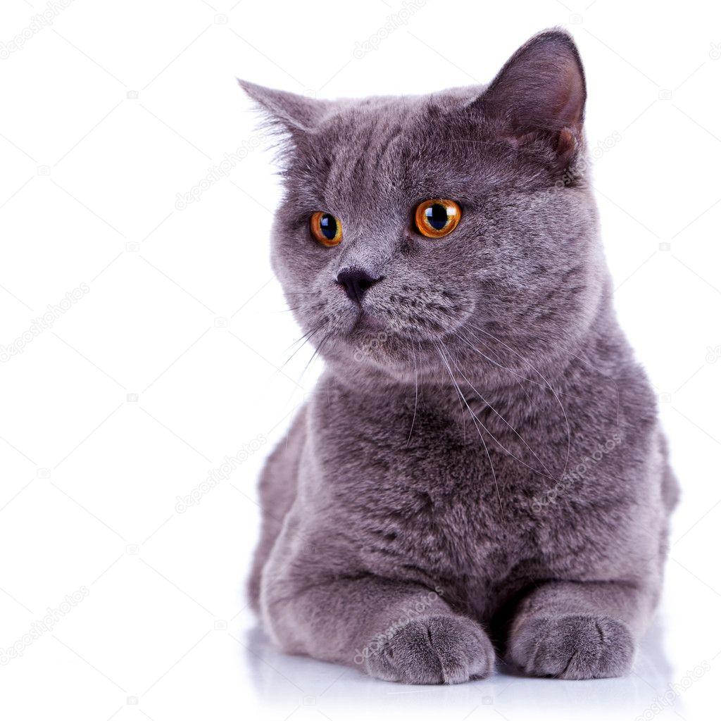 Ciekawy Kot Brytyjski Zdjęcie Stockowe Feedough 8403242