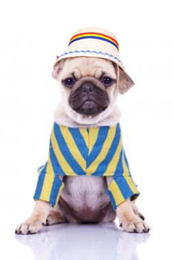 Cute pug puppy dog wearing clothes