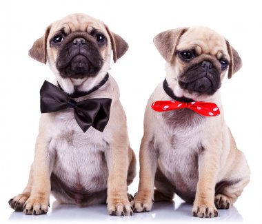 Lady and gentleman pug puppy dogs