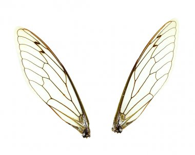 Isolated Cicada (Jar FLy) Wings