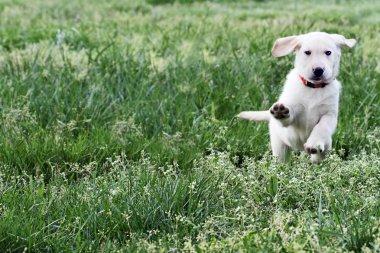 English Cream Labrador Retriever - Golden Retriever Mix