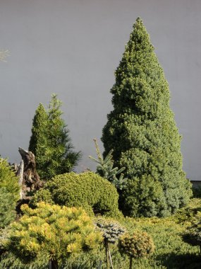 Evergreen trees and shrubs in nursery