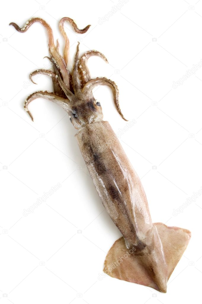 Squid on a white background