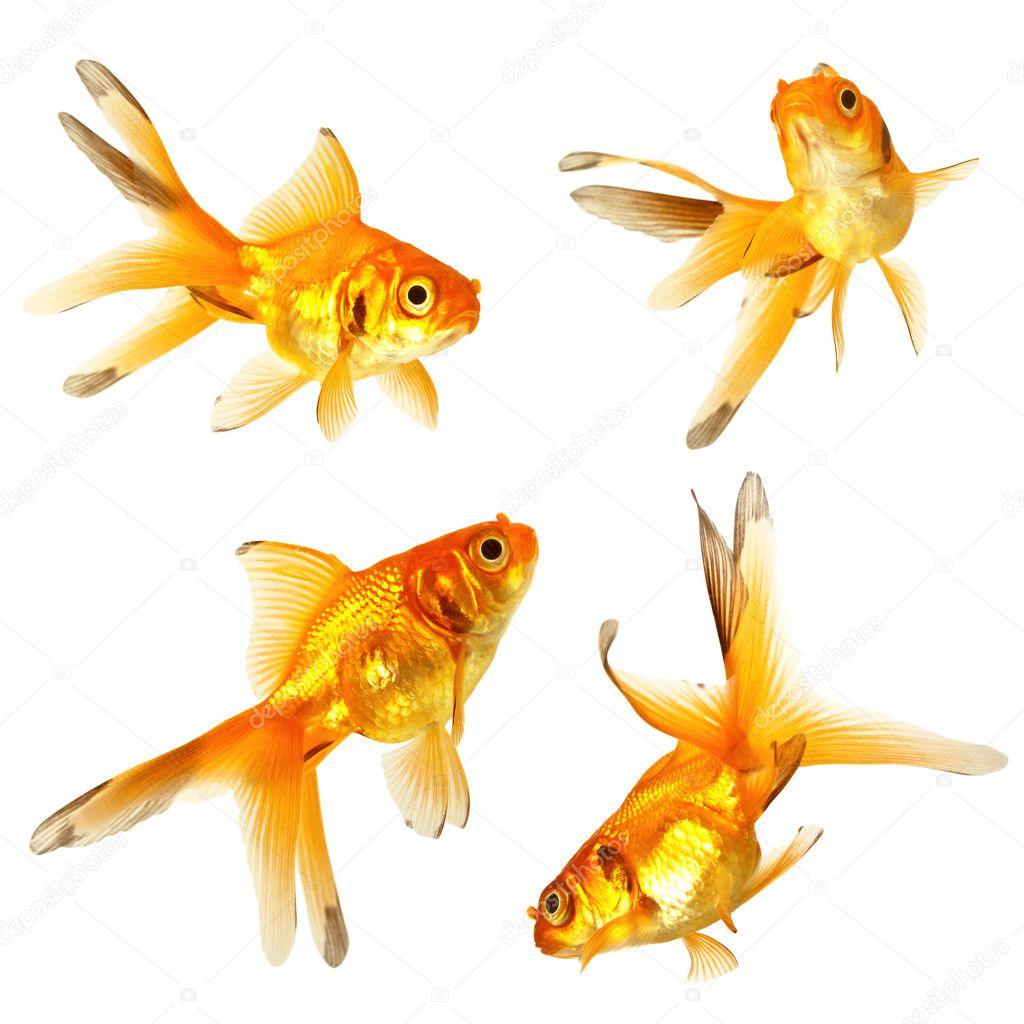 Золотая рыба — Стоковое фото © korovin #9297180