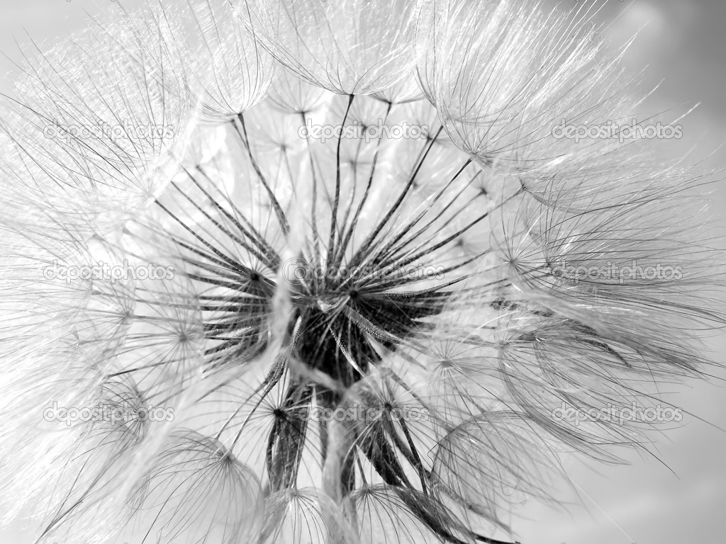 Black and white abstract dandelion