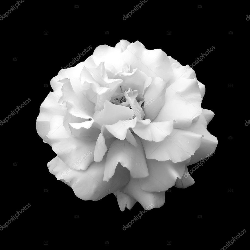 Siyah beyaz iek gl stok foto aelita 9811466 siyah beyaz iek gl stok fotoraf mightylinksfo