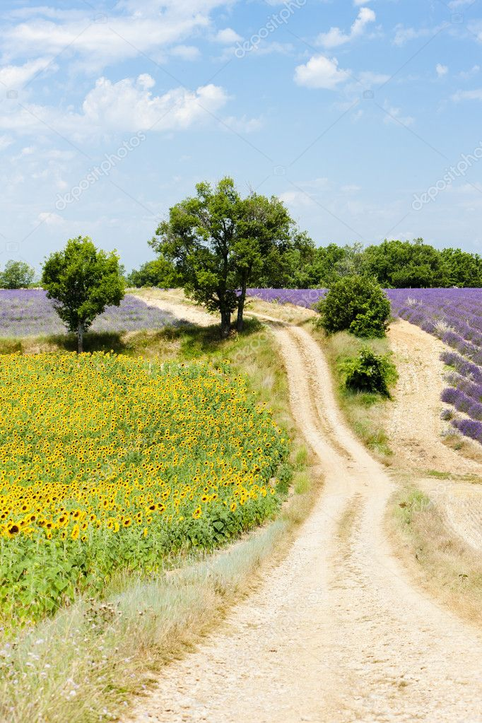 Sunflower and lavender fields, Plateau de Valensole, Provence, F