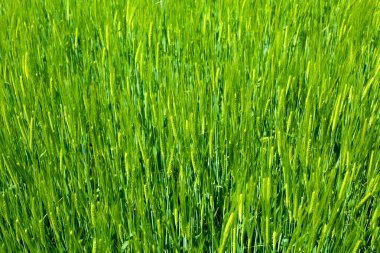 Agriculture background - green fresh grain