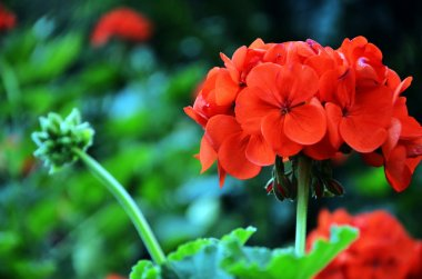 Beautiful pink flowers---geraniums