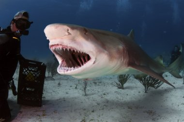 Lemon Shark Roar