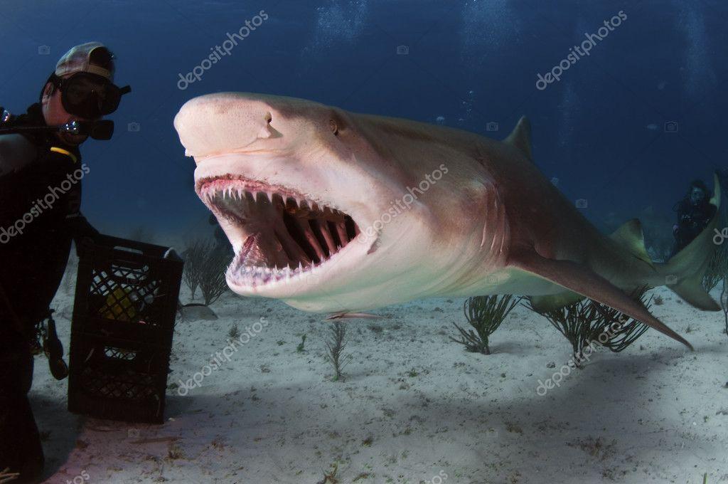 Lemon Shark Roar