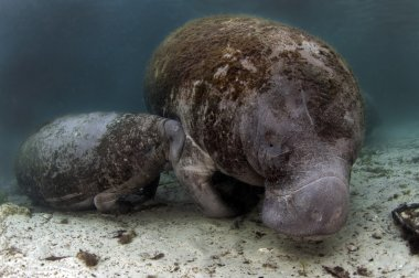 West India Manatee baby suckling from it's mother