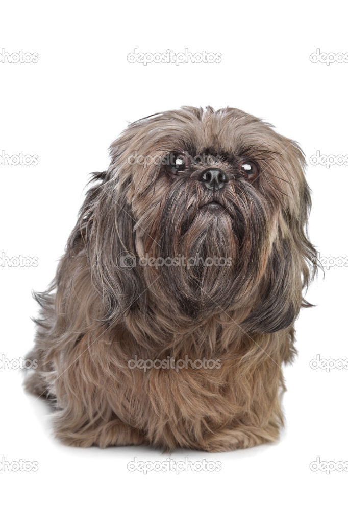 Brown Shih Tzu Dog Stock Photo Eriklam 8549039