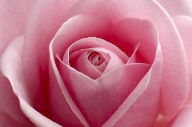 Beautiful pink rose center close up shoot stock vector