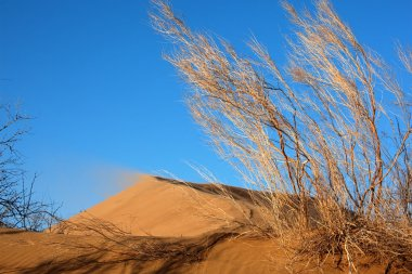Haloxylon plants and sand dune