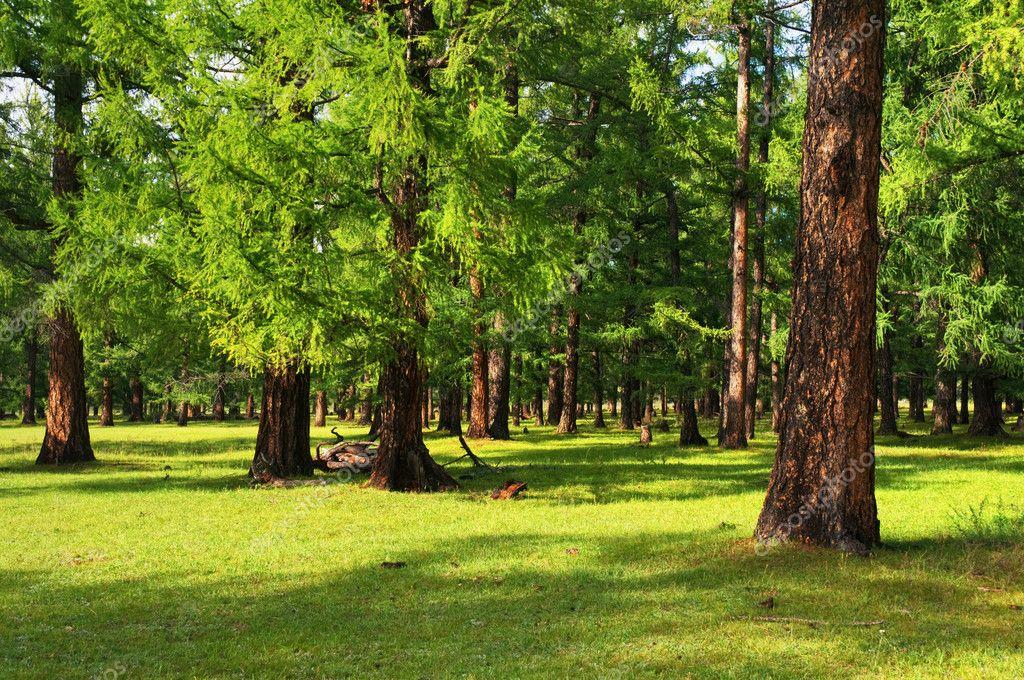 Фотообои Pine forest