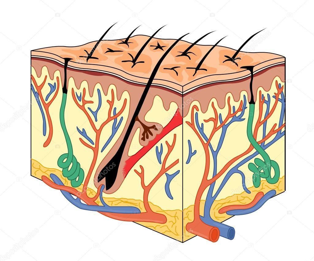 Anatomía de la piel — Archivo Imágenes Vectoriales © turhanerbas ...