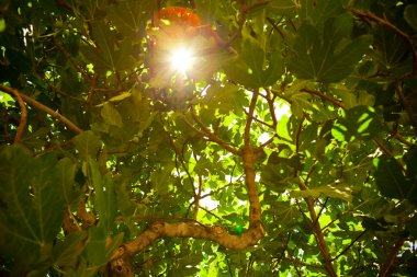 Sun shining throught the fig tree foliage