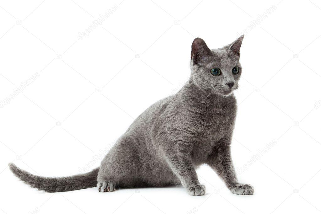 Russian Blue Cat On White Stock Photo Image By C Ewastudio 10067568