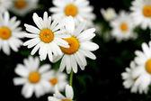 Fotografie Daisy flowers
