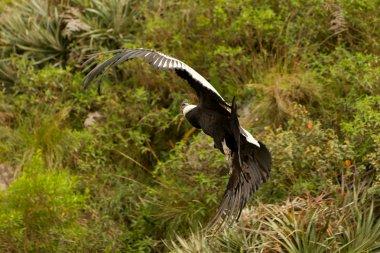 Andean Condor Flying