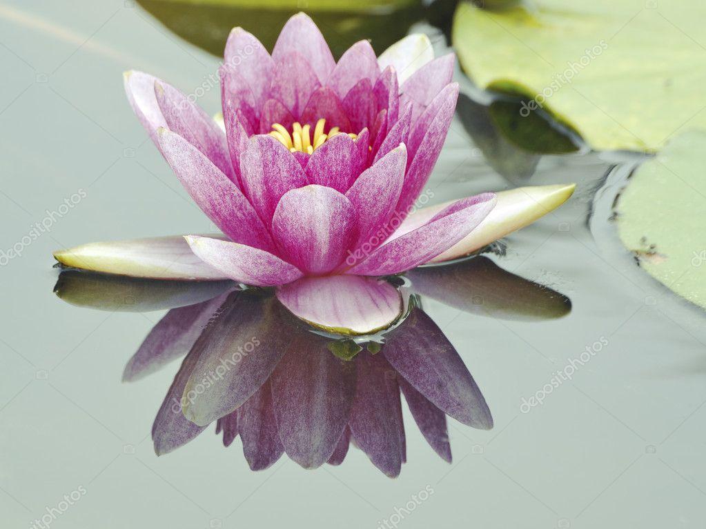 Big lotus flower stock photo yurizap 9765225 big lotus flower stock photo mightylinksfo Image collections