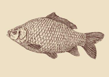 Carp fish drawing vector illustration