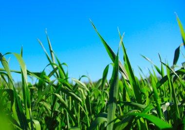 Green grass ans blue sky