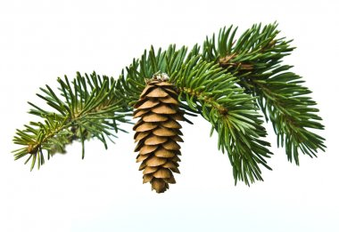 The branch of spruce and cone on white background