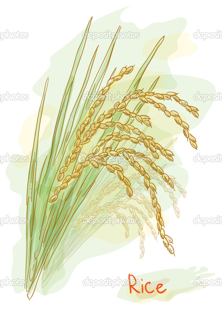 Rice (Oryza sativa). Watercolor style.