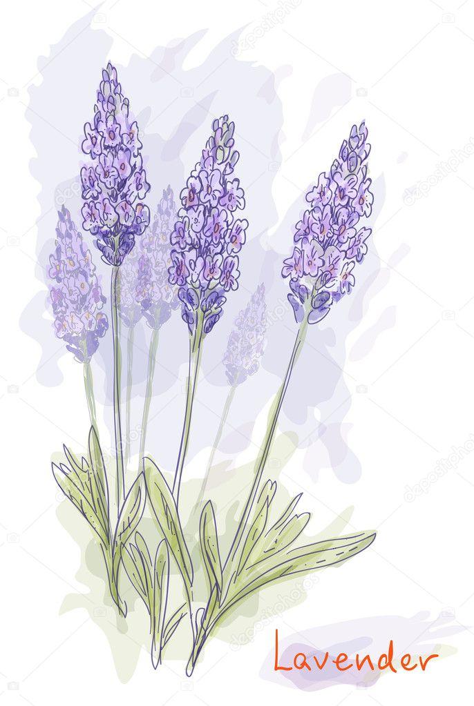 Lavender flowers (Lavandula). Watercolor style.