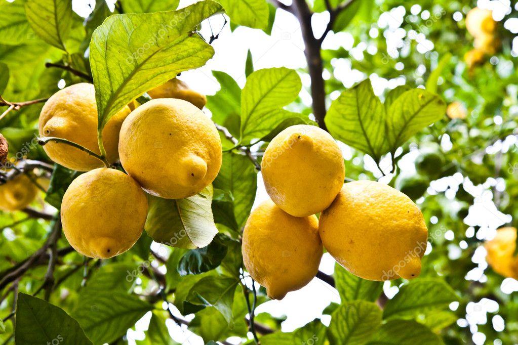 Lemon - agricolture
