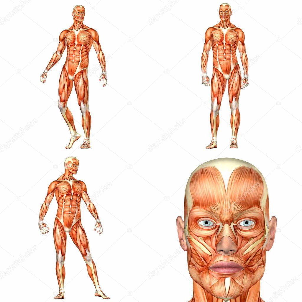 pack de anatomía cuerpo humano masculino - 1of3 — Foto de stock ...