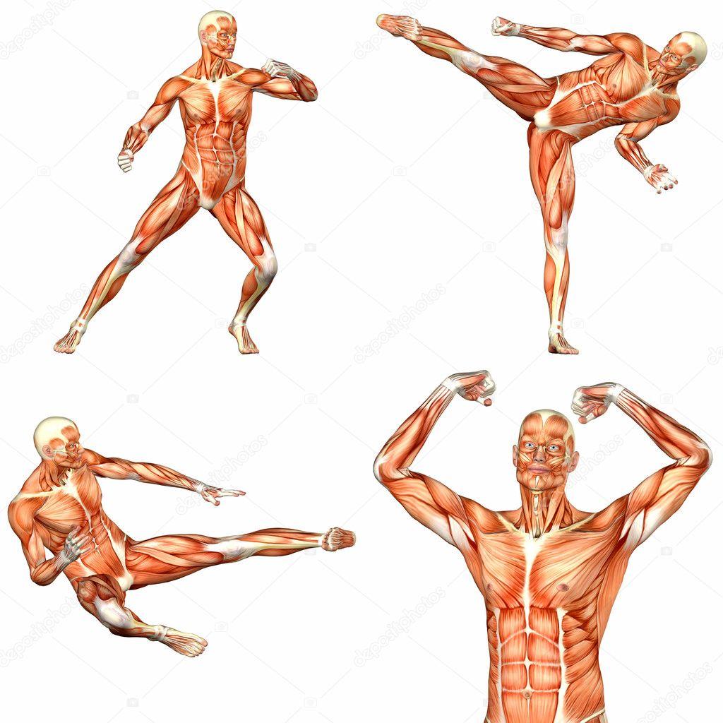 pack de anatomía cuerpo humano masculino - 2of3 — Foto de stock ...