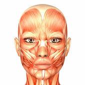 Fotografia Anatomia del volto umano femminile