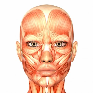 Female Human Face Anatomy