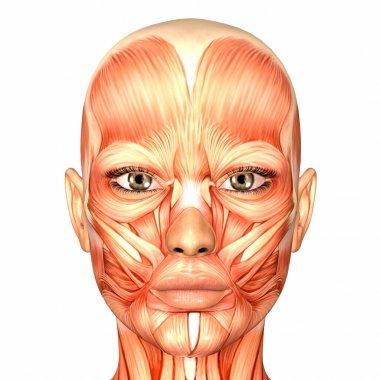 Female Human Face Anatomy