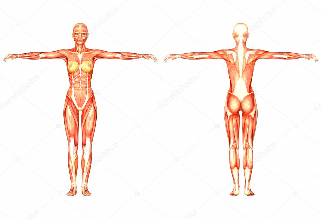 Female human body anatomy front and back stock photo chastity female human body anatomy front and back stock photo ccuart Image collections