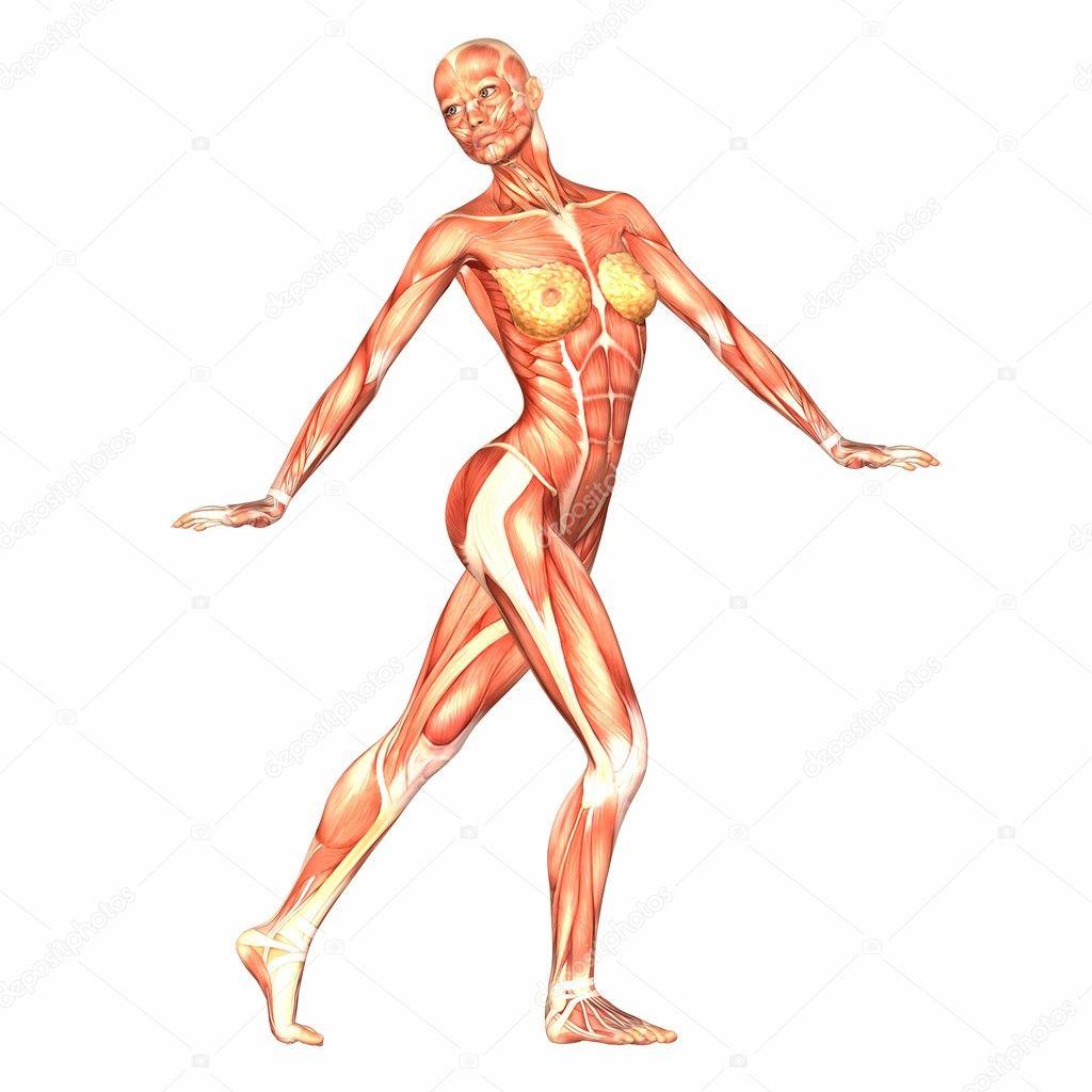 weibliche menschliche Körper-Anatomie — Stockfoto © Chastity #9162287