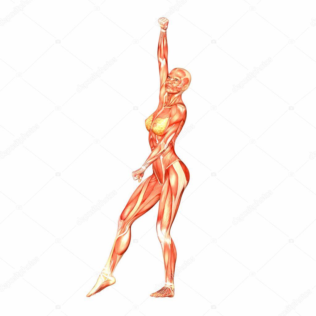 weibliche menschliche Körper-Anatomie — Stockfoto © Chastity #9162291