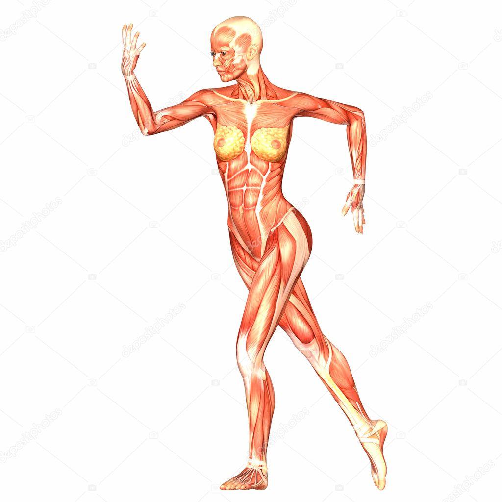Anatomía del cuerpo humano femenino — Fotos de Stock © Chastity #9162322