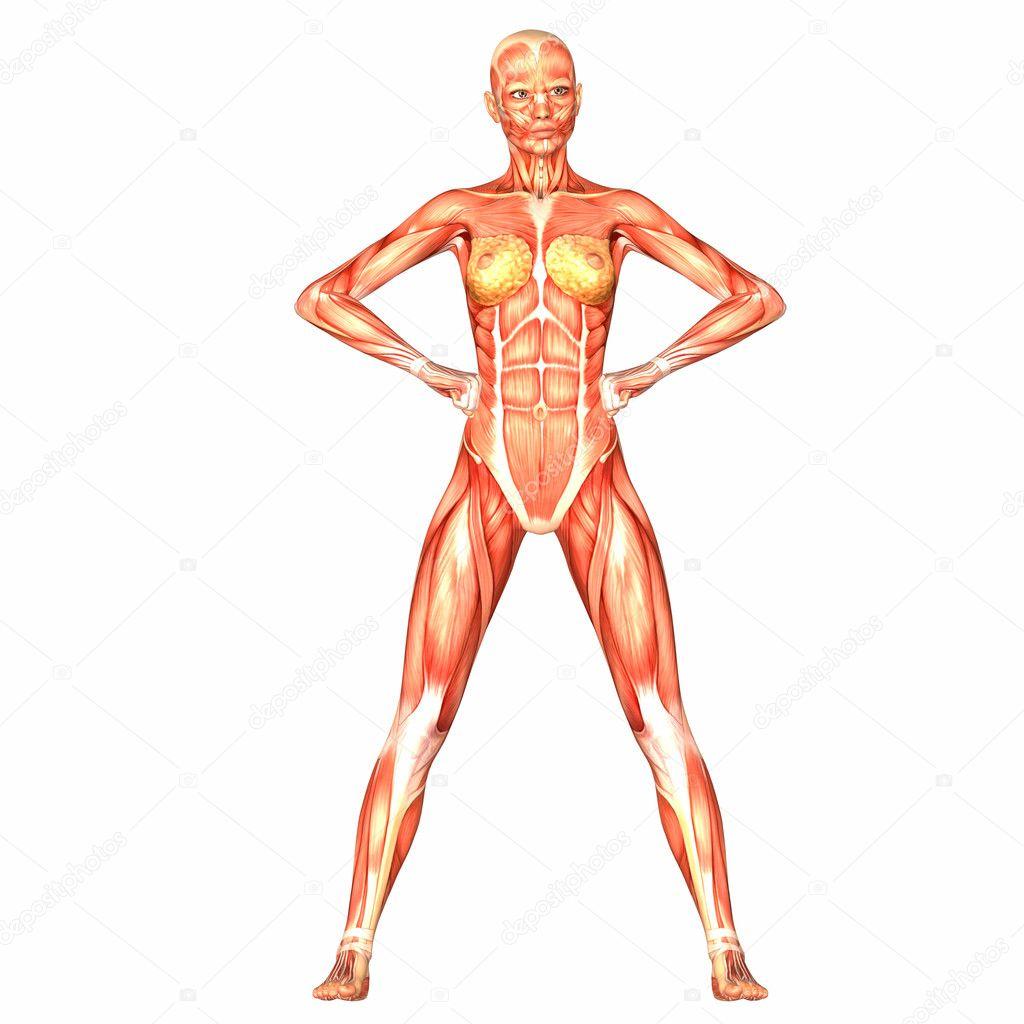 Anatomía del cuerpo humano femenino — Fotos de Stock © Chastity #9162326