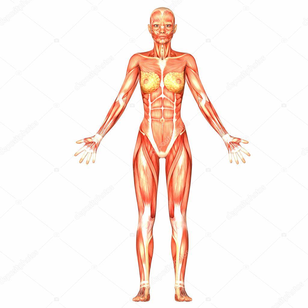 weibliche menschliche Körper-Anatomie — Stockfoto © Chastity #9162328