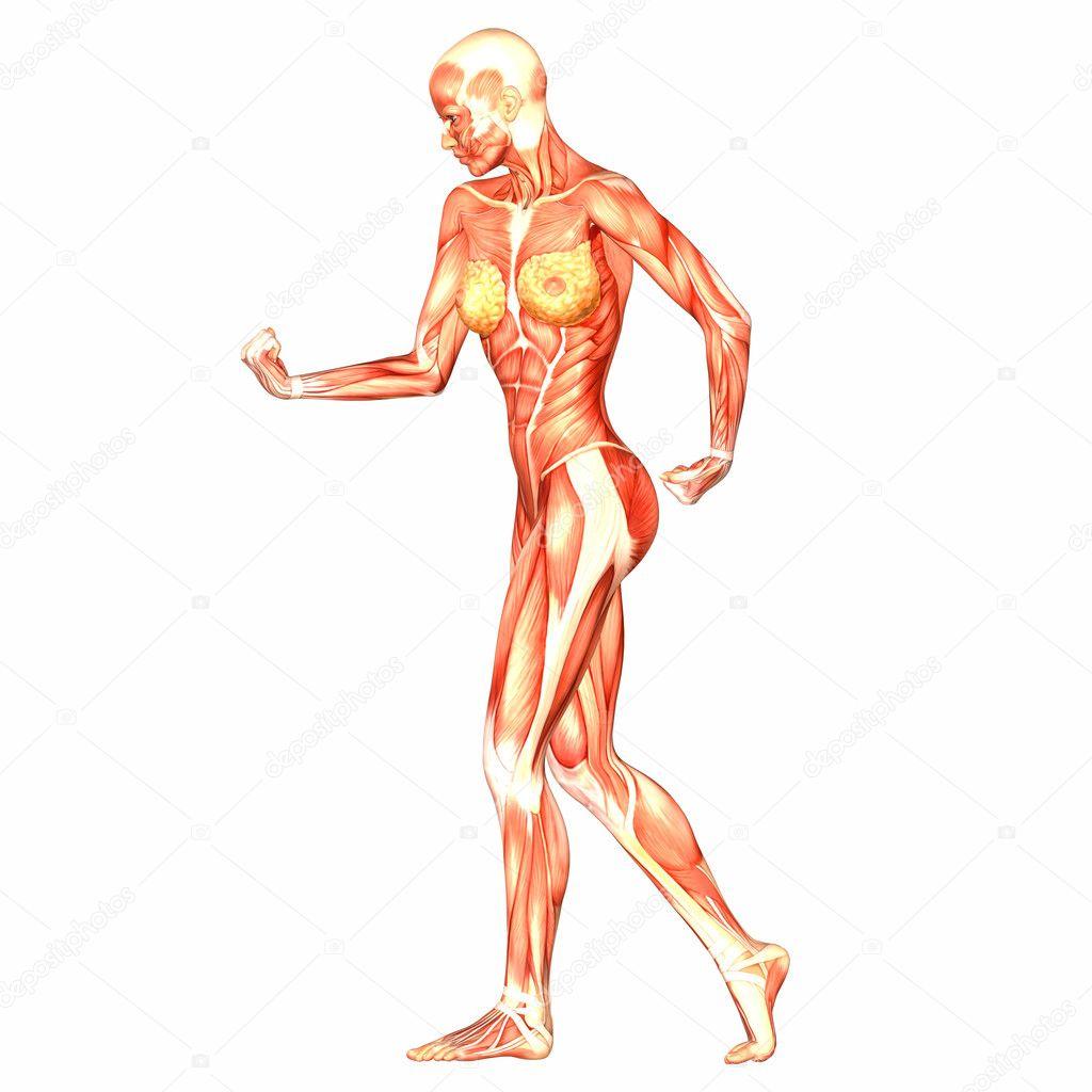 Anatomía del cuerpo humano femenino — Fotos de Stock © Chastity #9162342